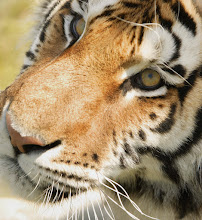 Photo: Close-up of a tiger's face