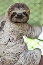 Photo: Three toed sloth at the KSTR Rescue Center