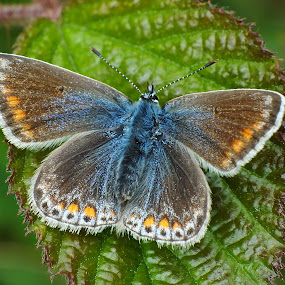 Female Common Blue Butterfly by Pat Somers - Animals Insects & Spiders (  )