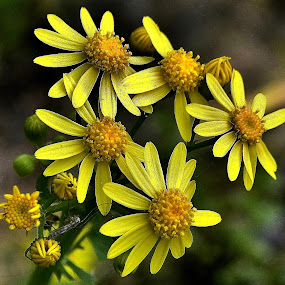 We're Blooming! by Tim Hall - Flowers Flowers in the Wild ( yellow, flowers, blossoms, wild flowers,  )
