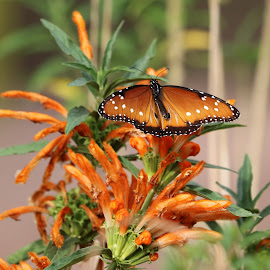 Monarch by Lyn Simuns - Animals Insects & Spiders ( monarch )