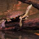 Slider Turtle ?