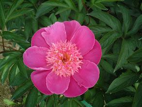Photo: サツキ 中輪の二重弁咲き発育力は旺盛である