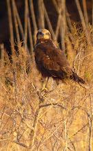 Photo: Falco di palude (Circus aeruginosus). Abbastanza comune, tutto l'anno. Foto fatta in Sicilia