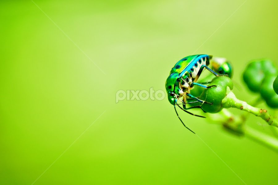 Green Jewel Insect by Prashant Sagare - Animals Insects & Spiders