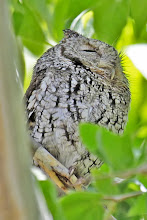 Photo: Whiskered Screech-Owl (adult)