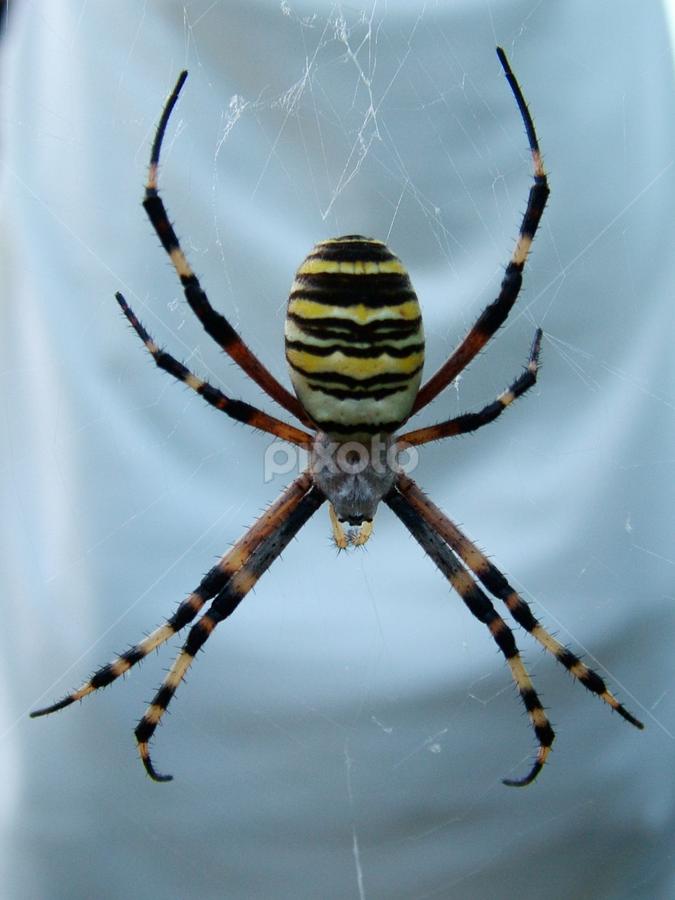 Great spider in the garden by Зоран Милојковић - Animals Insects & Spiders ( great, female, argiope, bruenicchi, spider, garden )