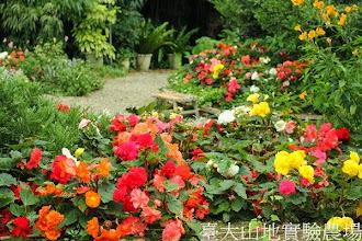 Photo: 拍攝地點: 梅峰-溫帶花卉區 拍攝植物: 球根秋海棠 拍攝日期:2013_07_04_FY