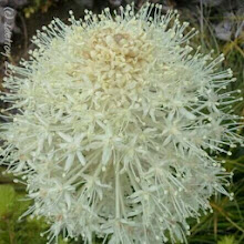 Photo: Grateful for beargrass seen in the mountains.