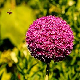 Poireau by Gérard CHATENET - Flowers Flower Gardens