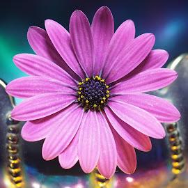 Purple Osteospermum Perched by Gillian James - Flowers Single Flower ( illuminated, osteospermum, purple, light, flower )