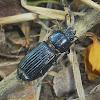 Passalus Beetle