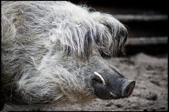 Photo: Saubär: Eber, beim Hausschwein insbesondere oberdeutsch Saubär, beim Wildschwein Keiler, bezeichnet das männliche Geschlecht des Schweins.