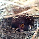 Carolina Wren nestlings.