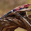 Agama cabeza plana (Spider-Man agama)