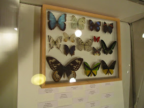 Photo: Metsämuseon perhoskokoelmaa