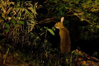 Photo: 野うさぎ 深夜の瓶が森林道で遭遇!照明は車のヘッドランプ! ハクビシン、テンとも遭遇したのですが撮影間に合わず。