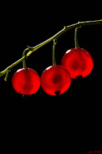 Photo: Red Currant Berries were rather small, less than 1 cm in diameter.  #MacroMonday