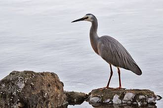 Photo: White-faced Heron
