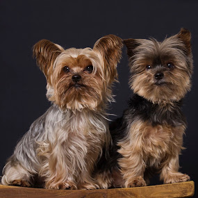 The Two Brothers by Anja Voorn - Animals - Dogs Portraits
