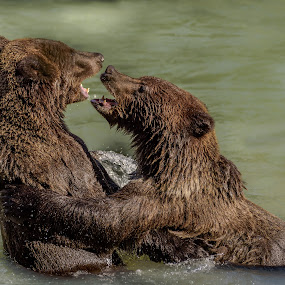 I'm Taller Than You  by Ronnie Sue Ambrosino - Animals Other Mammals ( grizzly, bear, haines, fight, alaska, salmon, fishing, cub,  )