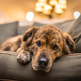 Chewie by Hoover Tung - Animals - Dogs Portraits ( face, animals, indoor, mottled, cute, depression, domestic, canine, depressed, couch, frontal, pet, inside, brown, dog, head, alone, lonely, closeup, animal,  )