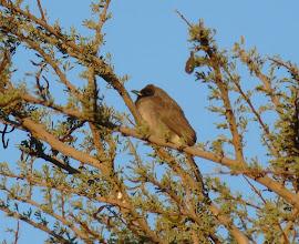 Photo: Bulbul - Pycnonotus barbatus - Common Bulbul