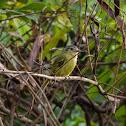 Bico-chato-de-orelha-preta(Yellow-olive Flycatcher)