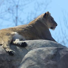 by Scott Thomas - Animals Lions, Tigers & Big Cats