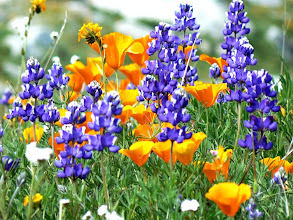 Photo: Lupines and Poppies - M. White
