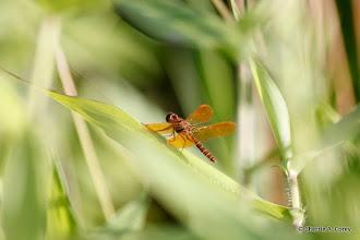 Photo: Eastern amberwing (Perithemis tenera) dragongly
