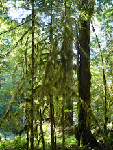 Photo: Moss and trees along the walk to Marymere Falls in Olympic National Park.
