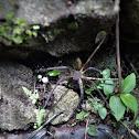 Philippine Huntsman spider