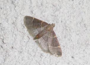 Photo: Hypsopygia  glaucinalis   PGE  Lepidoptera > Pyralidae