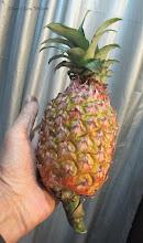 Photo: Wild Pineapple Picked By The Bonda Tribal People Onokudeli (Ankadeli) Market Orissa See The Bonda People at http://picasaweb.google.com/LouWalterWilson/TRIBALAREAORISSAINDIADecember2010#