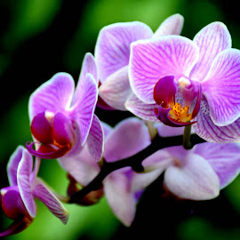 ORCHIDS by SANGEETA MENA  - Flowers Flowers in the Wild (  )