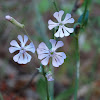 Greek Catchfly
