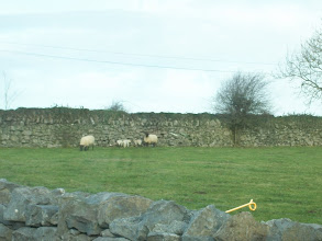 Photo: sheep & lambs!