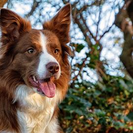 Brown Border Collie by Thyra Schoonderwoerd - Animals - Dogs Portraits ( portret, bordercollie, brown, girl, dog, dog portrait )
