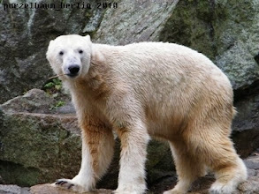 Photo: Knut mit Stoeckchen :-)