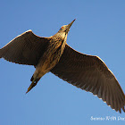 Black-crowend Night-heron