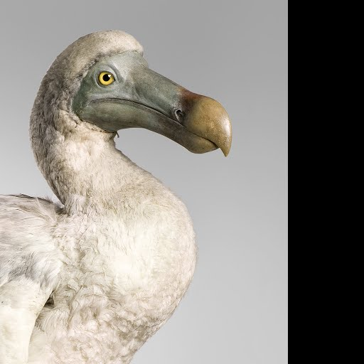 Everything You Ever Wanted To Know About The Dodo Google Arts Culture