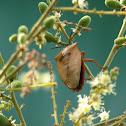 Lychee Stink Bug