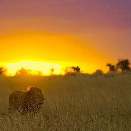 The King walls against a beautiful Mara sunset  by Shreyas Kumar - Animals Lions, Tigers & Big Cats ( lion, sky, sunset, masaimara, goldenhour )
