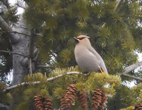 Photo: Another stately Bohemian Waxwing