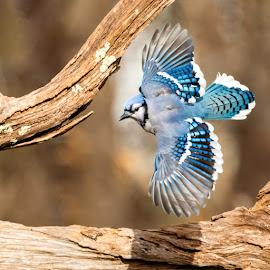 Blue Jay 1902024066 by Carl Albro - Animals Birds ( flight, bird in flight, blue, wings, blue jay, bird, flying, songbird, wildlife )