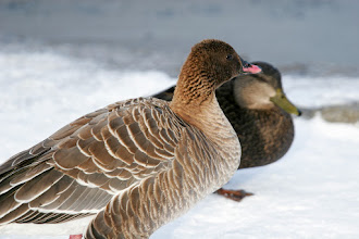 Photo: Pink Footed Goose, 6 Jan 2013