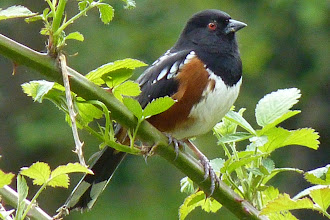 Photo: Male Spotted Towee: http://www.allaboutbirds.org/guide/Spotted_Towhee/id