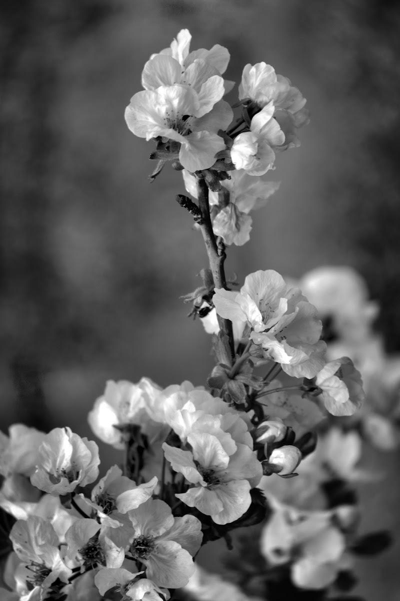 Fior di ciliegio come speranza che non muore. di francesco_abate