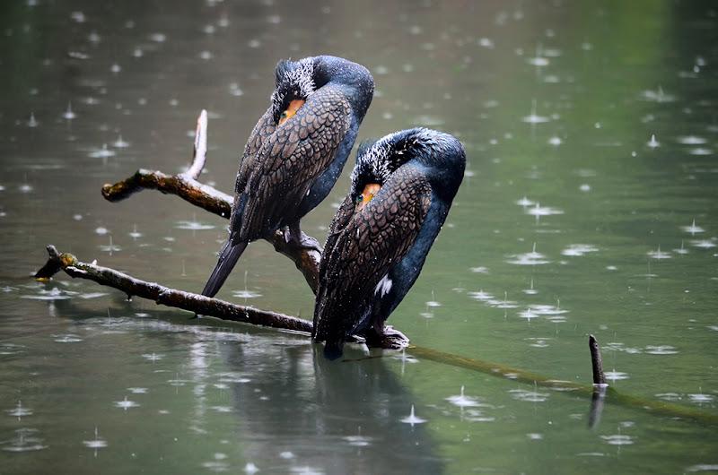 Cormorani sotto la pioggia di Clara